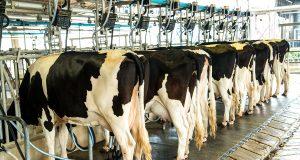 Dairy milking cow machine produce fresh milk to customer