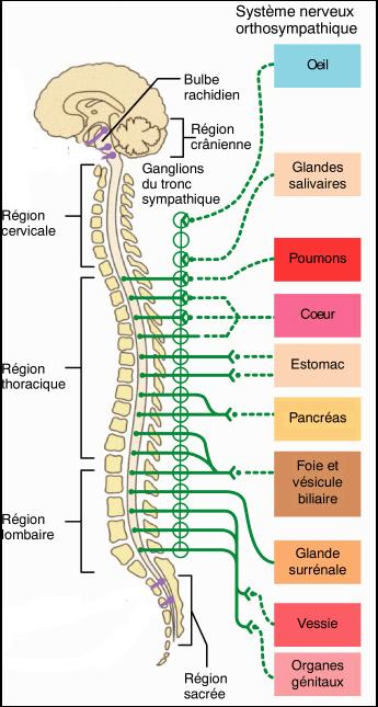 Osteofity du service cervical de lépine dorsale que cela